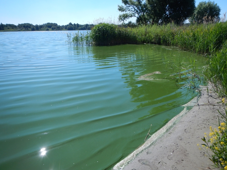Cyanobacterial bloom in a Dutch lake